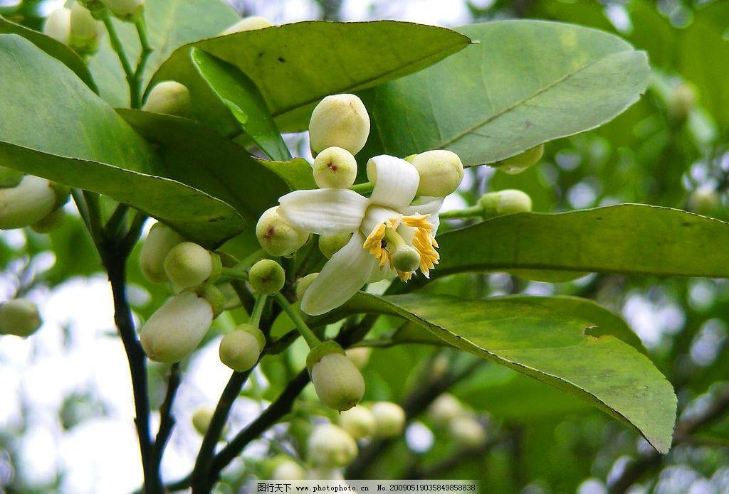 柚子花 柚子 甜柚花 生物世界 树木树叶 摄影图库 72dpi jpg