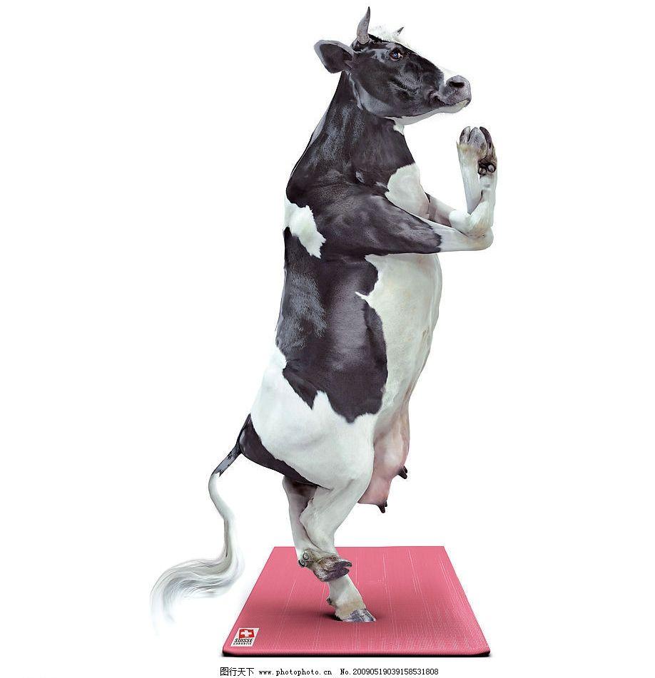 趣味摄影—做瑜珈的牛牛 趣味 摄影 瑜珈 牛 动物 文化艺术 其他 摄影