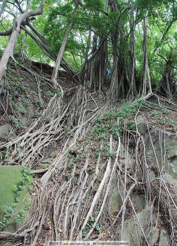 树根 古树 风景 古迹 旅游摄影 国内旅游 摄影图库 300dpi jpg