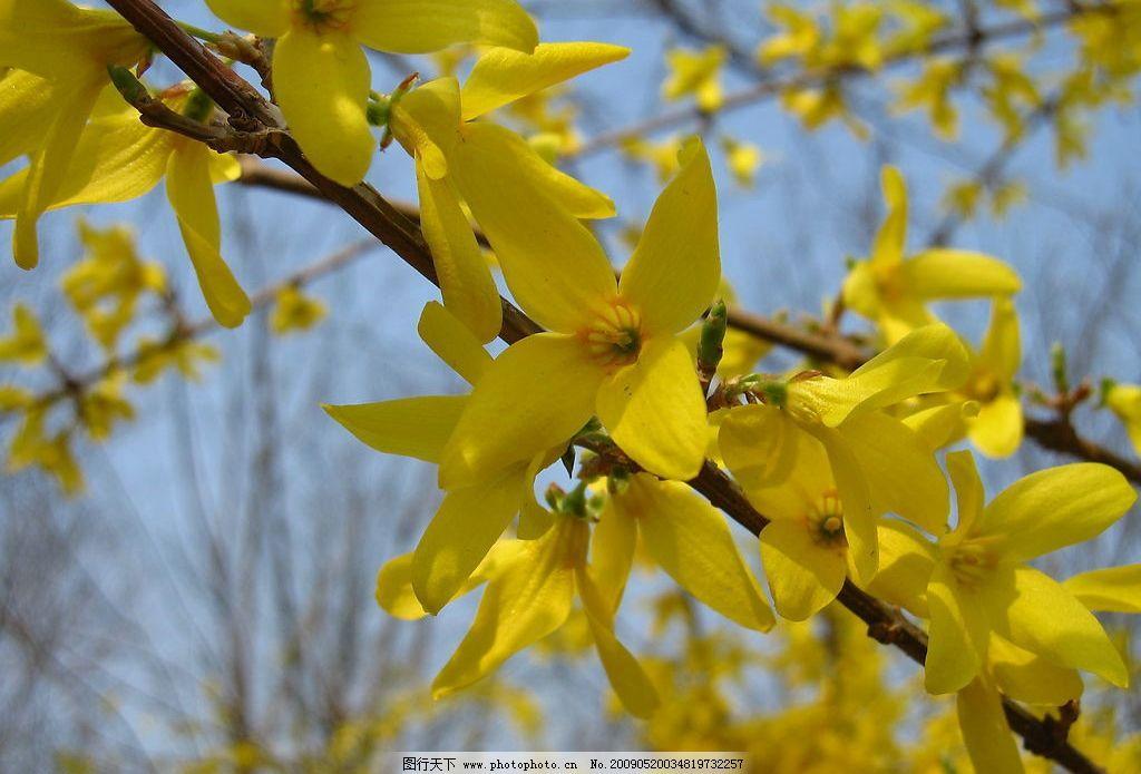 迎春花 春天里的黄花 春天 花 自然景观 自然风景 摄影图库 180dpi