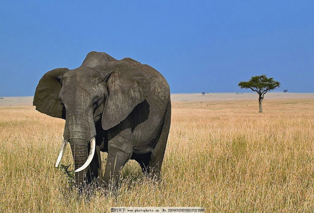 非洲大象 非洲 大象 草原