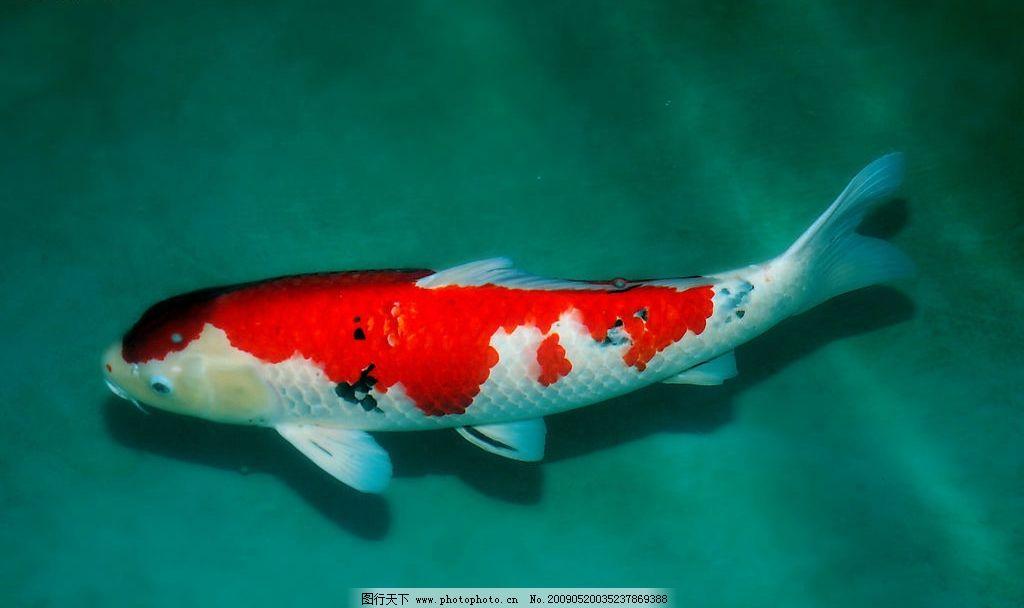 锦鲤鱼图片