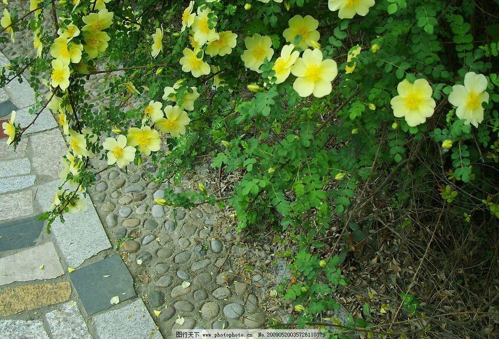 小径边的花丛 黄花 花苞 小道 石子 自然景观 自然风景 摄影图库