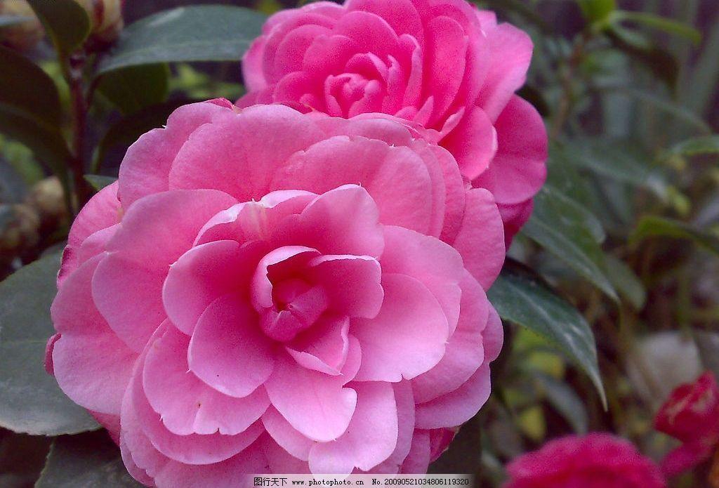 山茶花2 茶 花 自然景观 自然风景 摄影图库 300dpi jpg