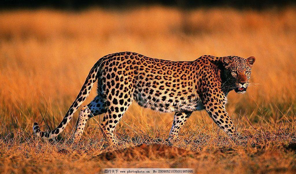 豹子 动物世界 猫科动物 飞禽走兽 凶猛 猎食 观察 生物 摄影图库