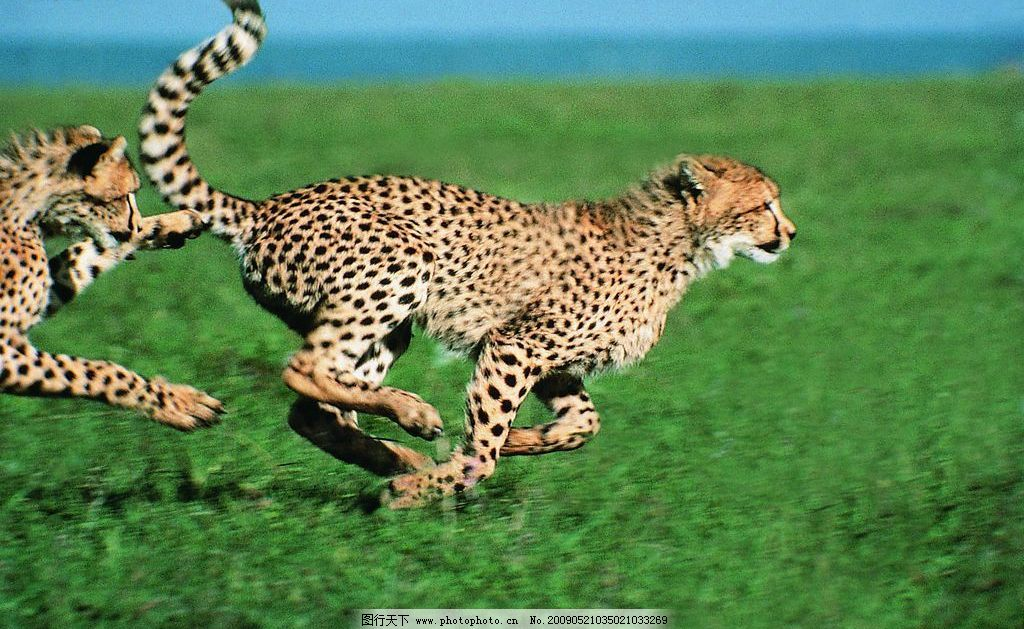 豹子 动物世界 猫科动物 飞禽走兽 凶猛 猎食 观察 草地 生物