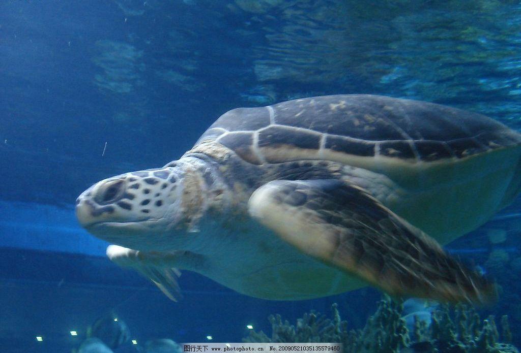 乌龟 大乌龟 生物世界 海洋生物 摄影图库