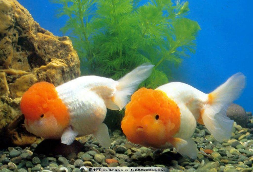 金鱼 水底 水草 鱼缸 自然景观 自然风光 设计图库 384dpi jpg 生物