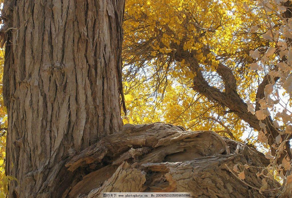 旅游摄影 摄影图库 生物世界 树木树叶 戈壁 沙漠 胡杨林 胡杨树 180