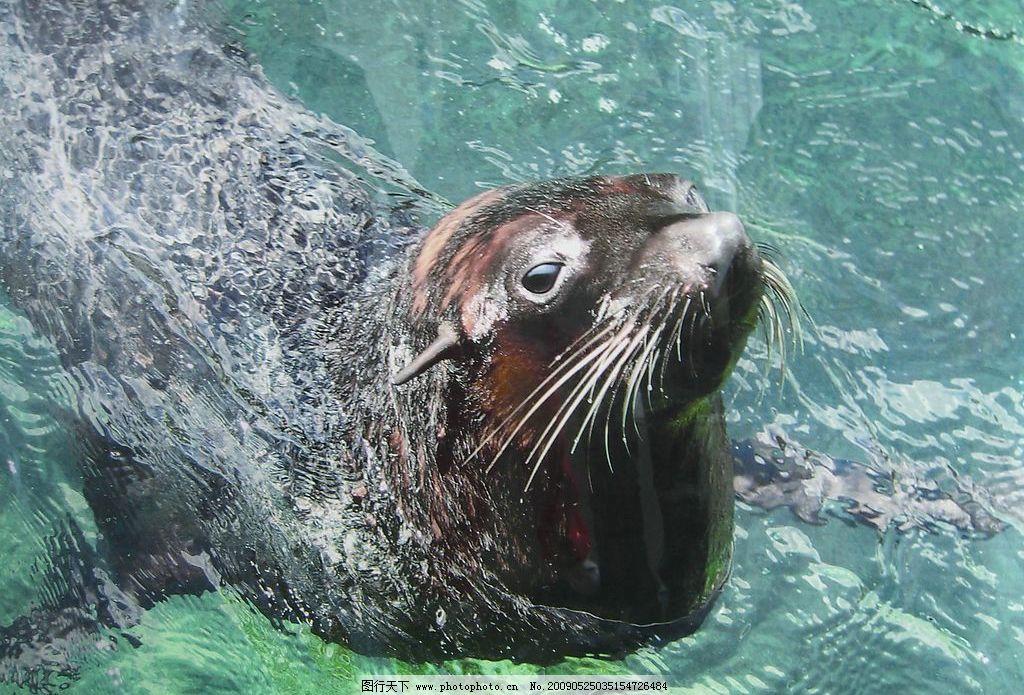 海狮 海洋 动物 生物世界 海洋生物 摄影图库 72dpi jpg