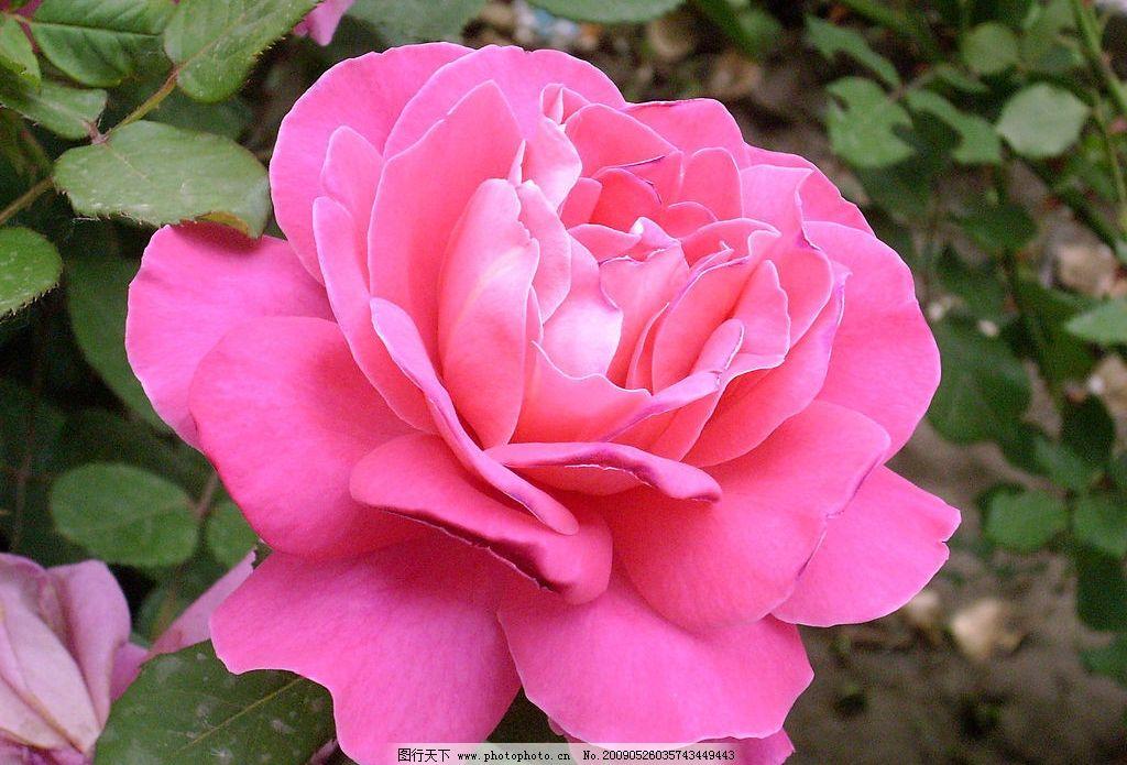 盛开的月季花 中国玫瑰 花卉 自然景观 自然风景 摄影图库