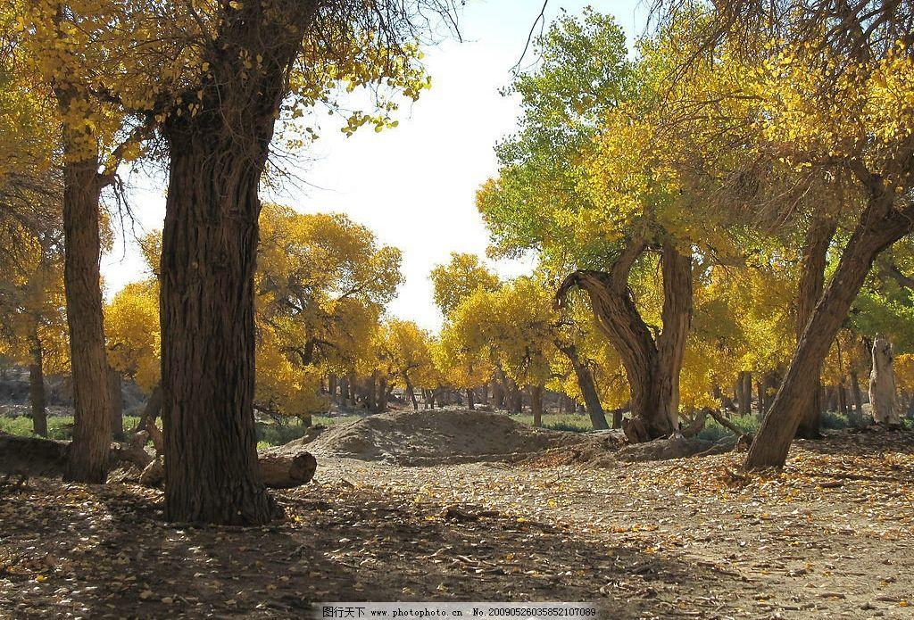 胡杨 内蒙古 额济纳 旅游摄影 摄影图库 戈壁 沙漠 胡杨林 胡杨树