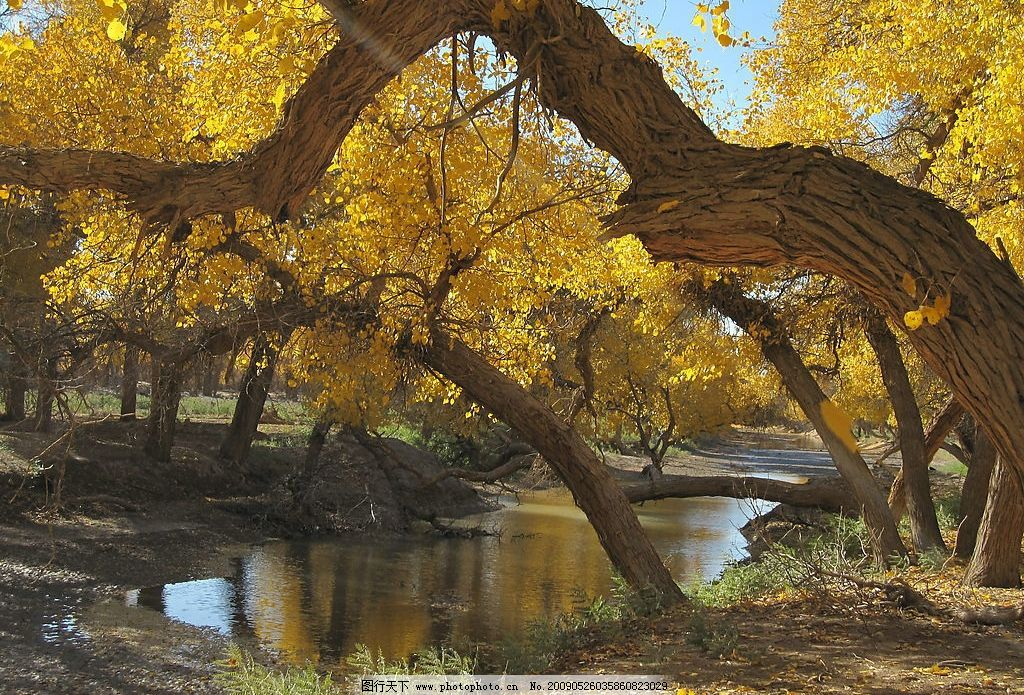 内蒙古 额济纳 旅游摄影 摄影图库 生物世界 树木树叶 戈壁 沙漠 胡杨