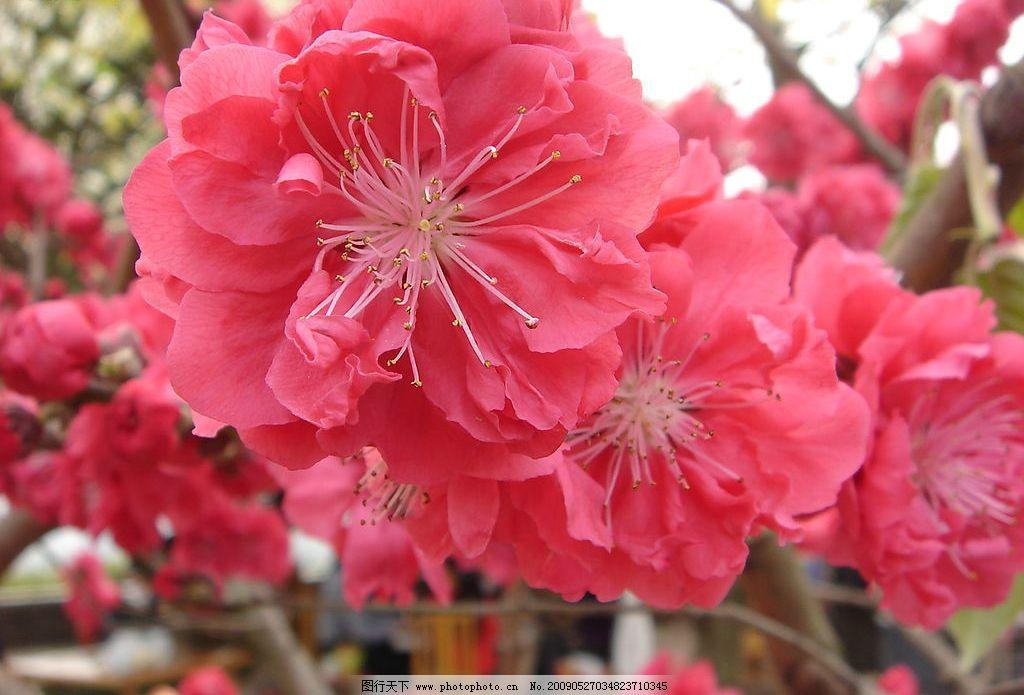 桃花 风景 红色 春天 素材     自然景观 自然风景 摄影图库 72dpi