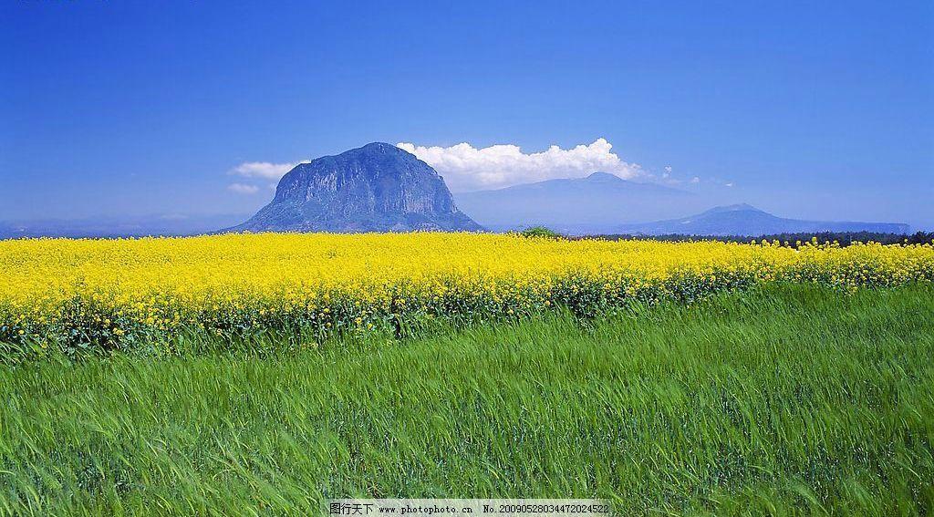济州岛山房山的油菜花田图片