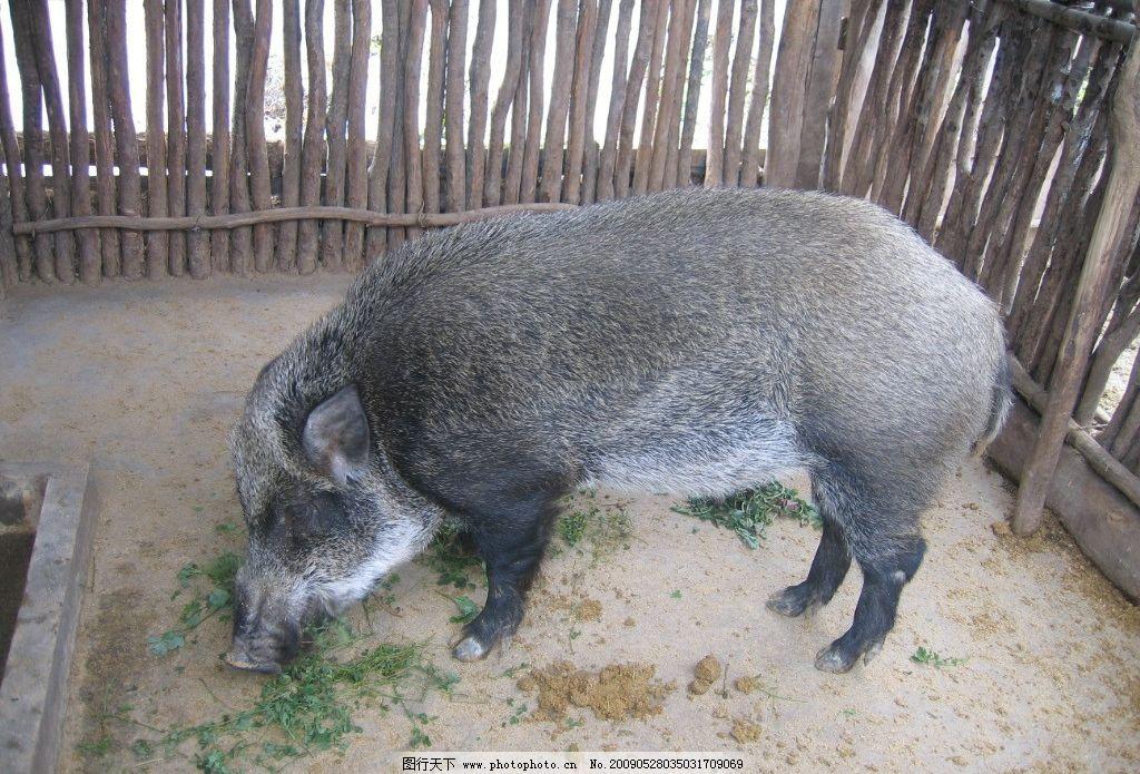 野猪 野生 猪 家养野猪 猪肉 生物世界 野生动物 摄影图库 180dpi jpg
