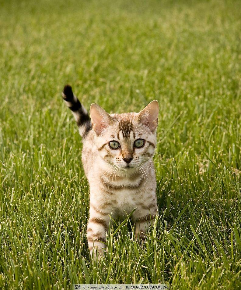 猫咪 虎斑猫 幼崽 草坪 绿油油 生物世界 家禽家畜 摄影图库 300dpi j