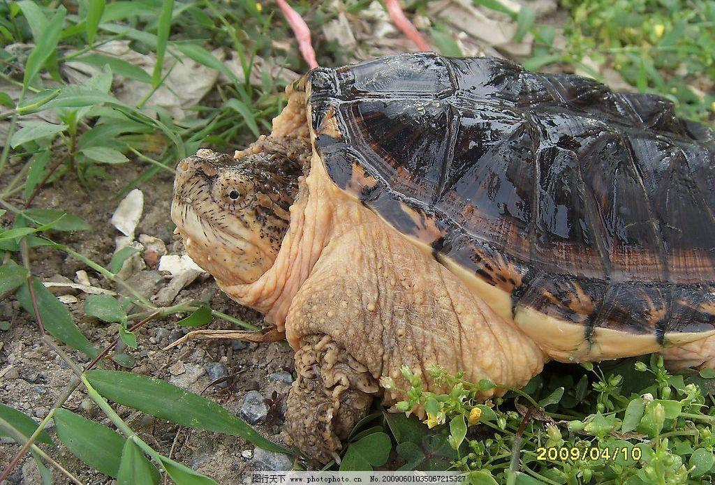 小鳄龟 爬行动物 草 肉龟 模式亚种 野生动物 生物世界 摄影图库