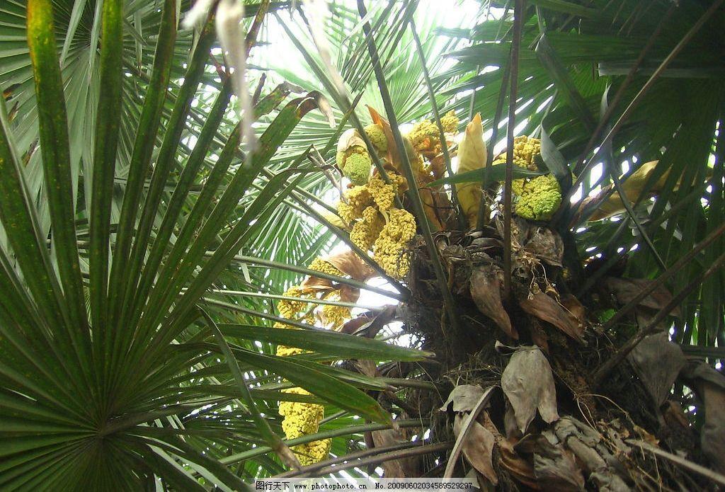 风景 棕树 棕花 近景 自然景观 田园风光 摄影图库 180dpi jpg