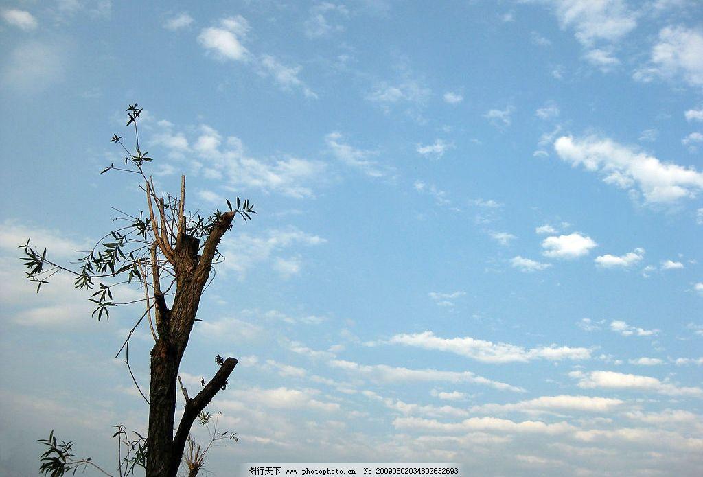 重生 柳树杆 蓝天 白云 自然景观 自然风景 摄影图库