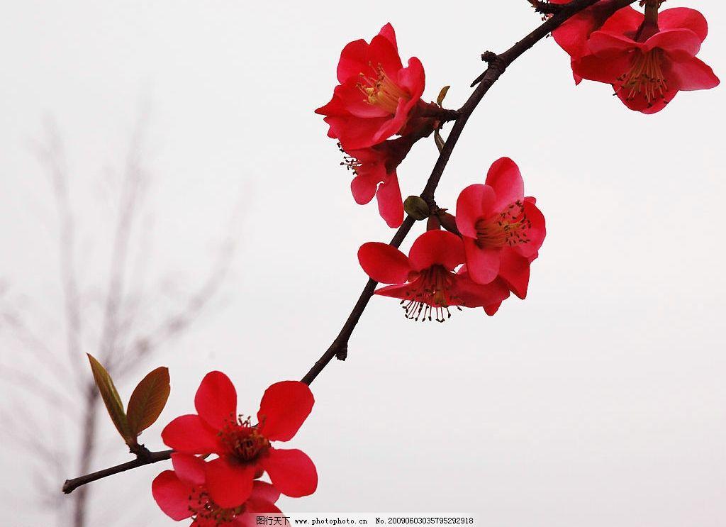 红色桃花 花蕊 春天来了 生物世界 花草 摄影图库 72dpi jpg