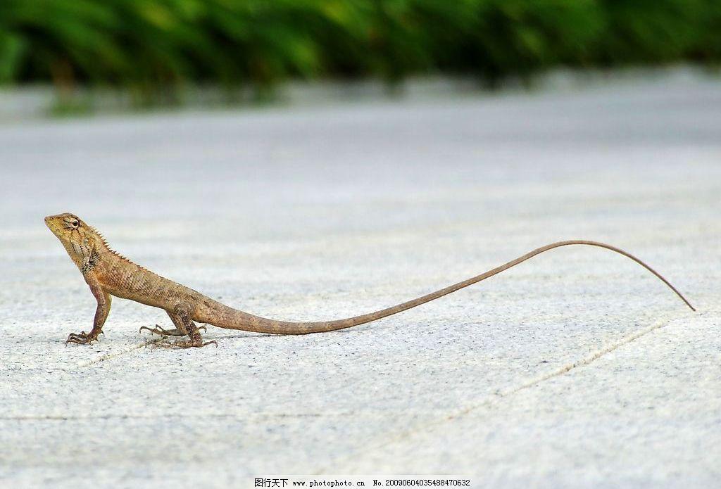 五脚龙 蜥蜴 爬行动物 摄影图库