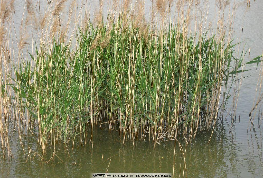 芦苇 湖水 自然景观 自然风景 摄影图库 180dpi jpg