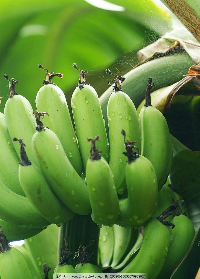 树上的香蕉 亚热带 水果 香蕉 树 自然景观 田园风光 自然风光 摄影