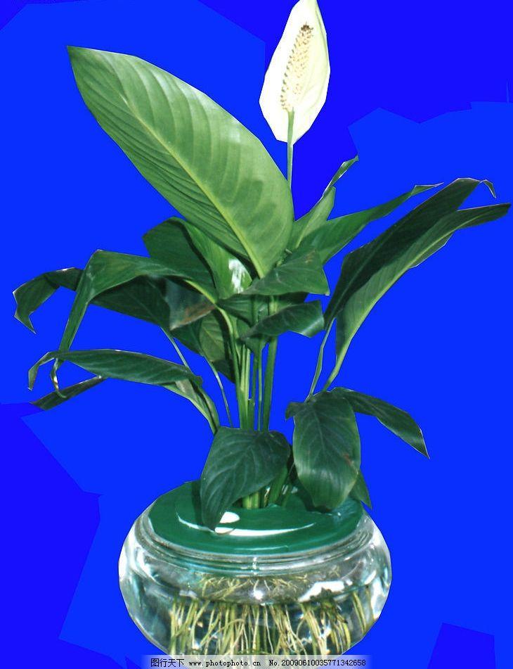 鲜花绿叶 白色鲜花 绿叶 花枝 蓝色背景 玻璃透明花盆 水 绿色盖子