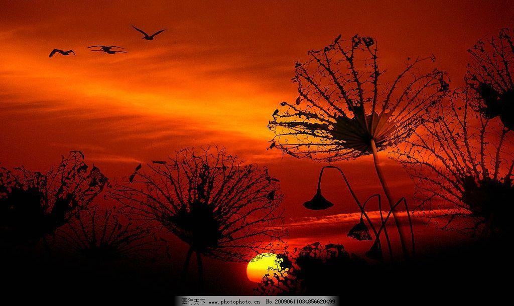 轮回 荷花 飞鸟 残荷 夕阳 彩霞 红色 归 自然景观 自然风景