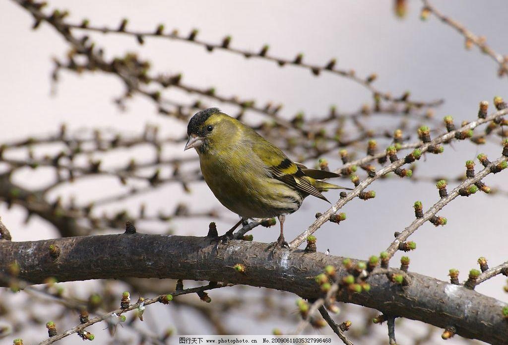 小鸟10 春天 发芽 树枝上的小鸟 生物世界 鸟类 摄影图库 314dpi jpg