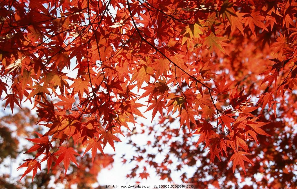 枫叶 秋天 枫树 红枫叶 自然景观 自然风景 摄影图库 350dpi jpg