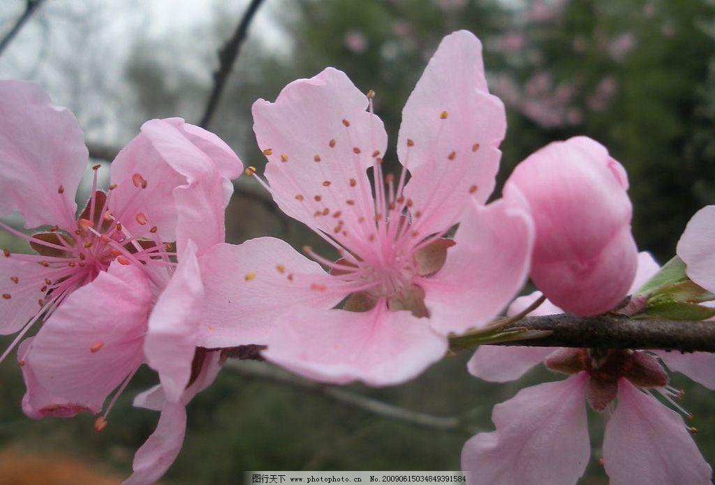 桃花 自然景观 自然风景 摄影图库