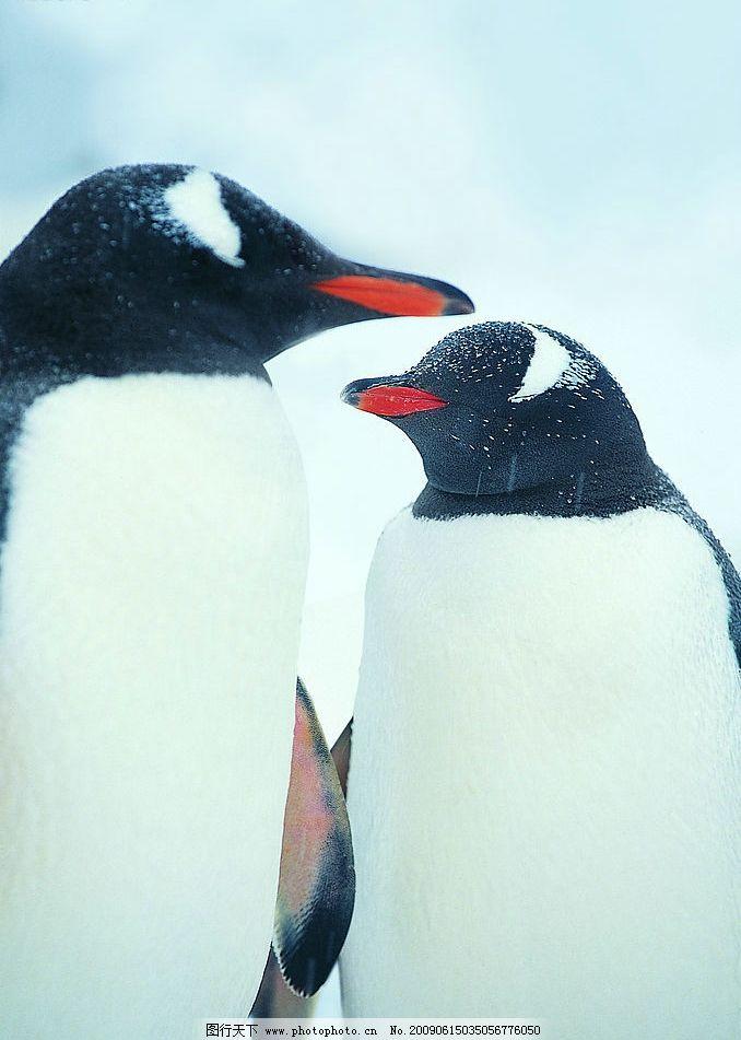 企鹅 生物世界 动物 野生动物 海洋生物 摄影图库 冰山之企鹅篇 雪地