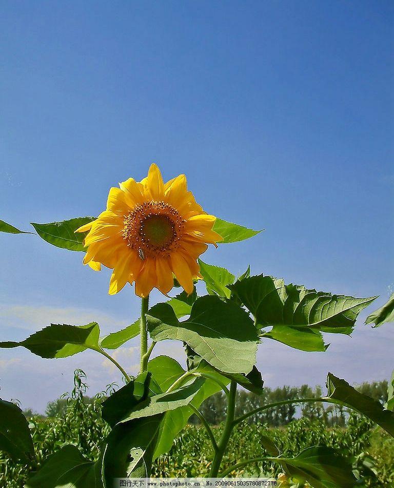 向日葵 田园 农家风光 自然景观 自然风景 摄影图库 72dpi jpg