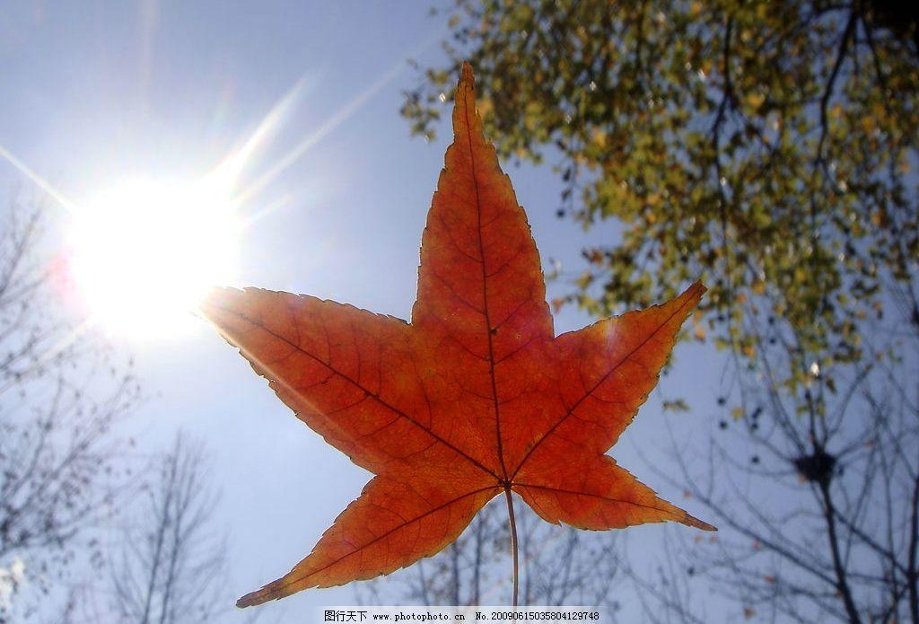 阳光枫叶情 大自然 景观 景象 生物 天空 云彩 阳光 花草 树枝 树柳