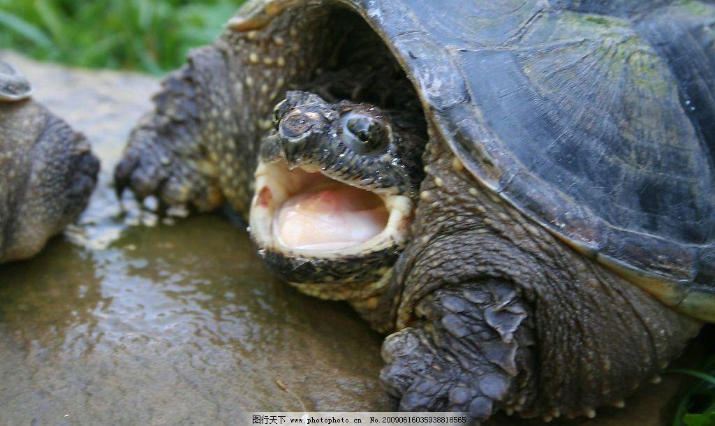乌龟 张嘴 鳄龟 摄影图库 动物园