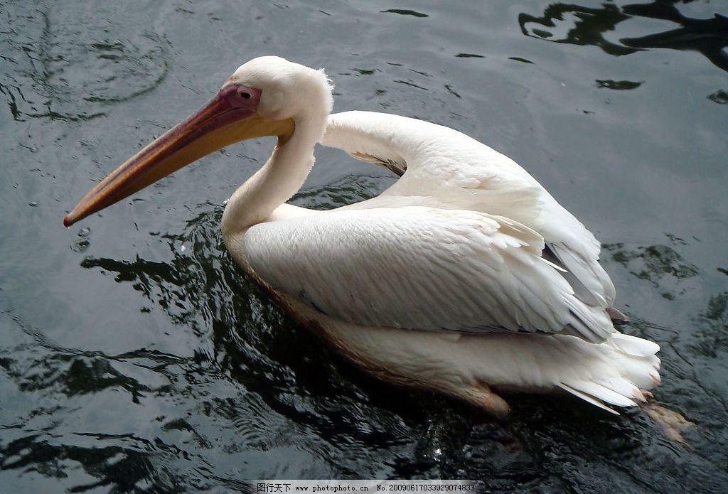 白天鹅 广州动物园 游水 河流 特写 拍照 游玩 旅游摄影 国内旅游