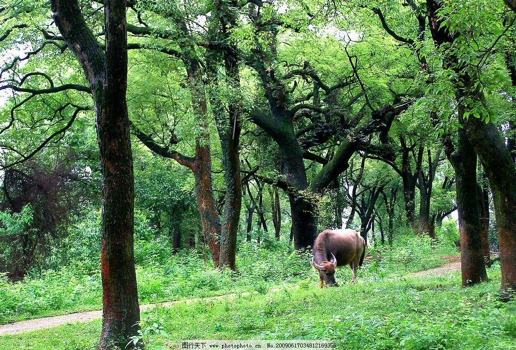 樟树林 黄牛 绿树 夏天 小树林 自然景观 自然风景 摄影图库 72dpi图片