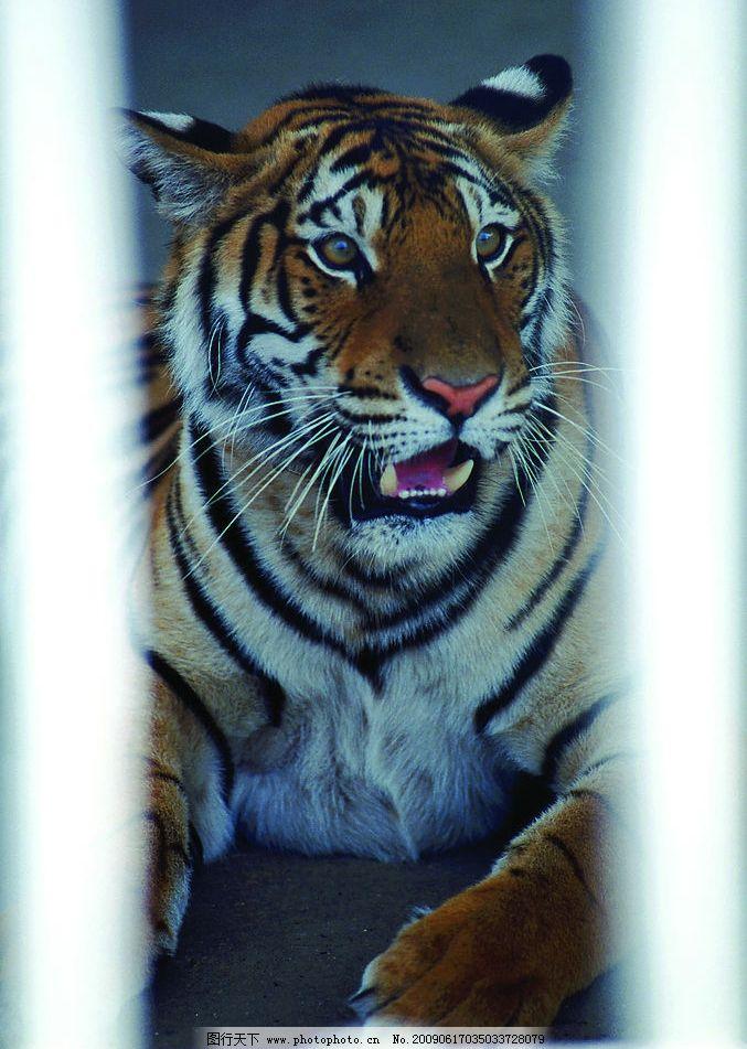 老虎 深林 生物世界 野生动物 摄影图库 300dpi jpg