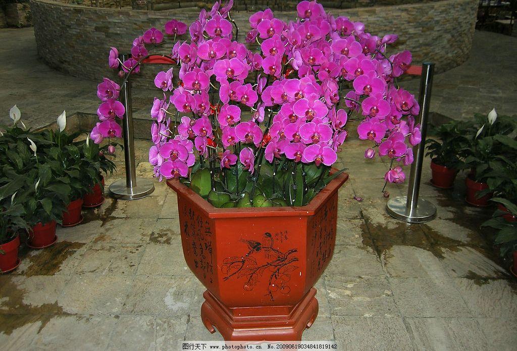 美丽的蝴蝶兰 蝴蝶兰 生态 花朵 紫色 兰花 花艺 自然景观 自然风景