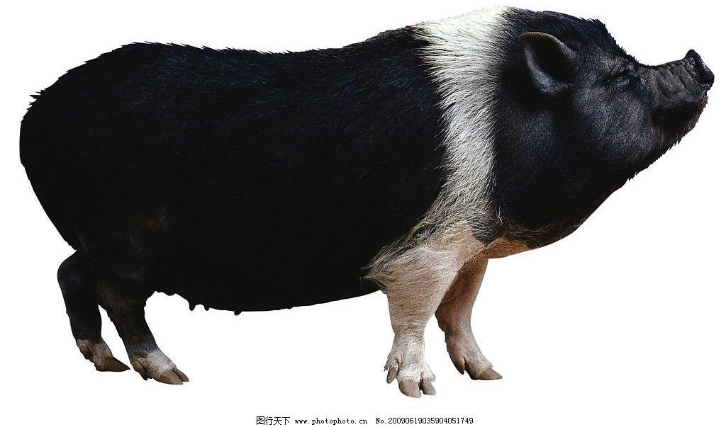 动物素材 黑猪 摄影图库