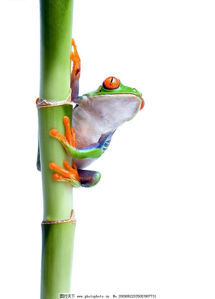 青蛙 竹子 绿色 爬行动物 摄影图库