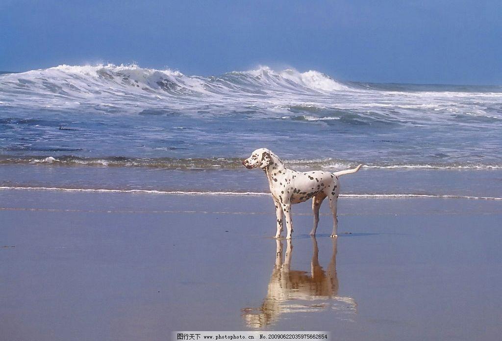 海边小狗 动物世界 宠物 可爱 犬 斑点 海浪 海水狗 摄影图库