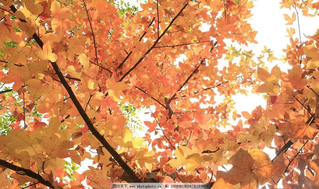 枫叶遮天 枫林景色 旅游摄影 自然风景 摄影图库 72dpi jpg
