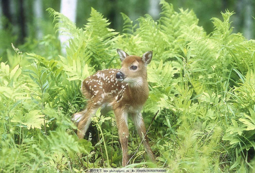 梅花鹿 草 植物 可爱 生物世界 野生动物 摄影图库 72dpi jpg