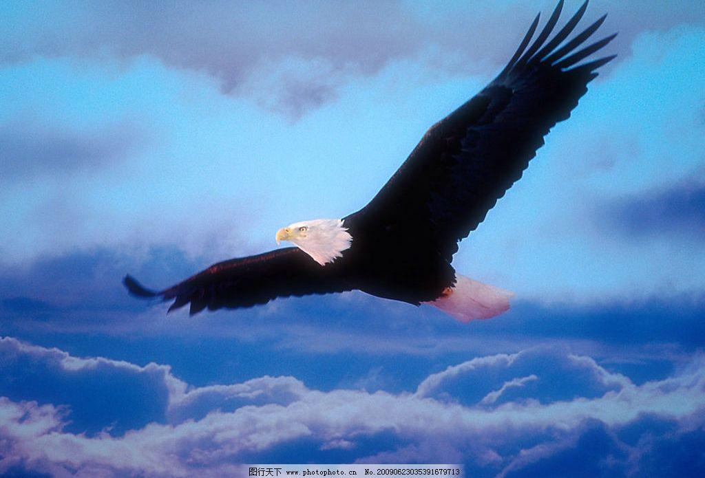 老鹰飞翔 老鹰 飞翔 海上 天空 云层 鸟 灵敏 生物世界 鸟类 摄影图库