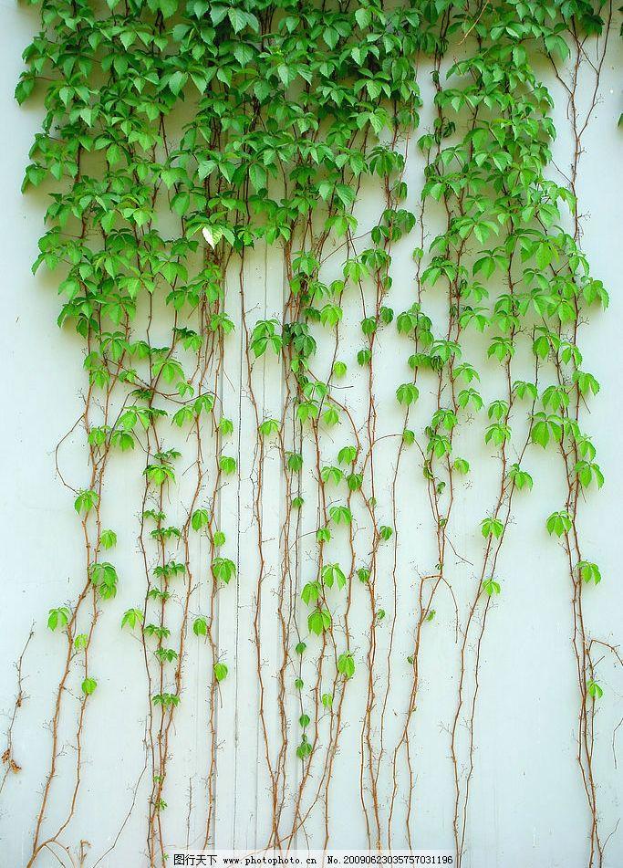 爬山虎 绿叶 叶子 藤蔓植物 墙体 绿意盎然 摄影图库