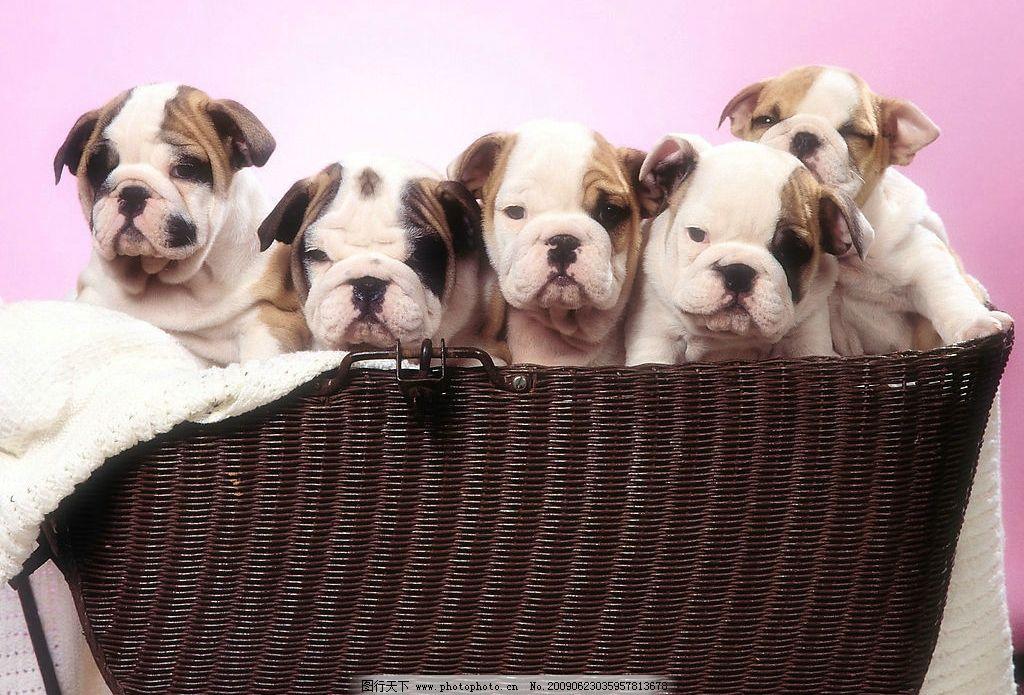 狗宝宝 动物世界 宠物 可爱 小狗 犬 狗 篮子 生物世界 家禽家畜 摄影