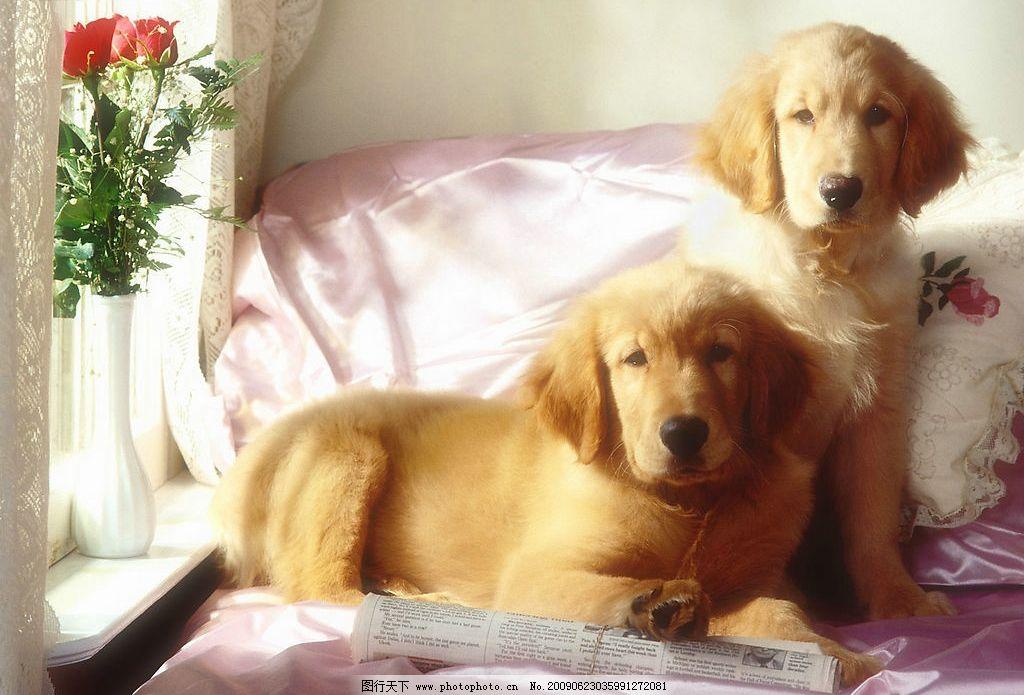 大狗狗图片,动物世界 宠物 可爱 小狗 犬 室内 家具